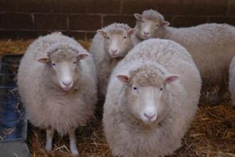 Protest cu oi la Primaria Grosi. Viceprimarul ar fi dat iama in subventii