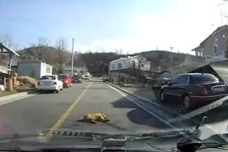 VIDEO. Cainele caruia nu-i pasa daca il calca masina i-a provocat hohote de ras unui sofer