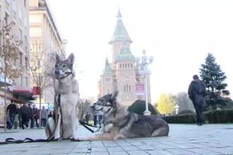 Romanul care a imblanzit lupii. Ii scoate zilnic la plimbare pe strazile din Timisoara
