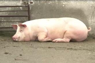 Romanii nu mai ingrasa porcul in ajun, ci il fura. Patru transporturi din Ungaria, oprite de Politie