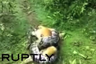 Scene incredibile surprinse in timp ce un piton incearca sa omoare un caine. Deznodamantul a starnit un val de reactii. VIDEO