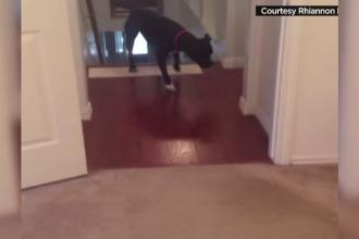 Speriat de pragurile din casa, un pitbull a gasit solutia pentru a ajunge langa stapanii sai. Imaginile au devenit viral