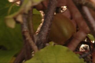 Kiwi de Transilvania. Fructul exotic da roade de ani de zile pe Dealul Feleacului si in Sebes
