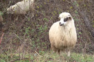 Scandal mare. Ciobanii din Tulcea amenință că își vor îneca toate oile în Dunăre