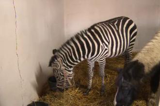 Un pui de zebra, noul