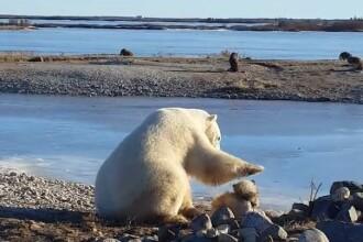 Urs polar, filmat in timp ce mangaie un caine pe cap. Ce s-a intamplat cateva ore mai tarziu cu cele doua animale