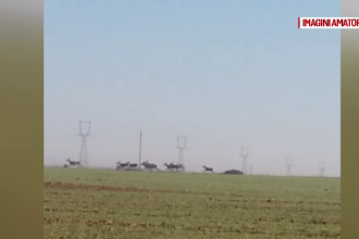 Pagube de sute de mii de euro provocate de turmele de căprioare fermierilor din Bihor