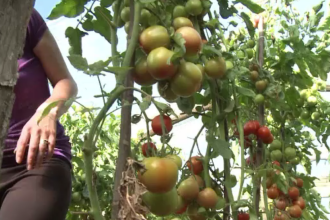 Agricultorii români care produc și iarna roșii, cu ajutorul subvenției de 3.000 de euro de la stat