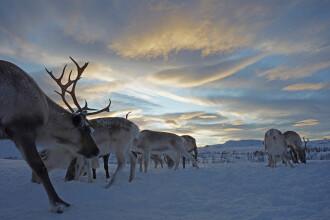"""Peste 100 de reni, uciși de trenuri de marfă, în Norvegia: """"Nu a fost o greșeală"""""""