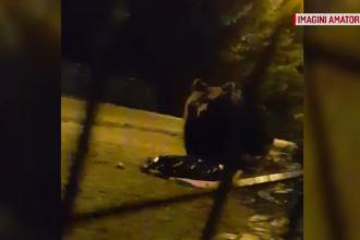 """Doi urși filmați în timp ce scotocesc prin gunoaie, în Sinaia. Ce au făcut după ce și-au terminat """"treaba"""""""