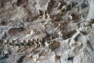 O nouă specie de dinozaur, descoperită în Argentina. Cât de mare era