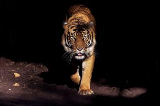 Un tigru a ucis 13 oameni, în India. Apoi, 150 de oameni au pornit să îl vâneze