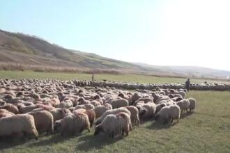 După porci, şi oile sunt lovite de o epidemie netratabilă. Carnea din abatoare, verificată