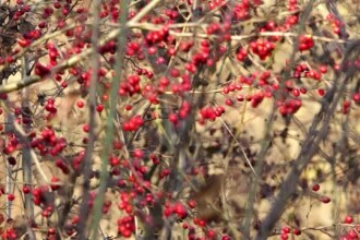 De ce au rămas neculese sute de tone de afine, măceșe sau cătină în România