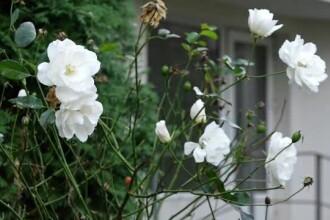 Plantele reînfloresc datorită vremii neobișnuit de calde din această perioadă