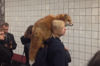 Apariție bizară la metrou. Femeie, surprinsă cu vulpea pe umăr. VIDEO