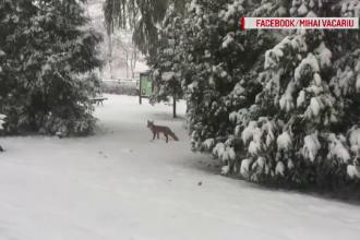 Cum a fost observată o vulpe, în centrul Brașovului. Explicația autorităților