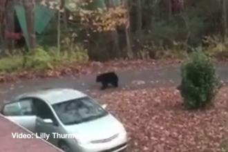 O ursoaică şi puii ei şi-au luat singuri, în avans, desertul de Ziua Recunoștinței. Cum au fost filmați