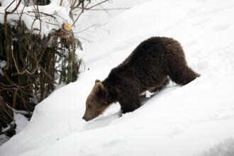 Urs brun în pădurile Munților Carpați