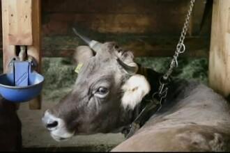Elvețienii au decis prin vot să taie în continuare coarnele vacilor și caprelor