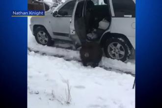Urșii din Colorado au învățat să deschidă mașinile, în căutare de mâncare