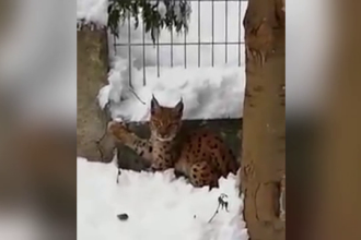 Imagini rare, cu un pui de râs, la Târgu Ocna. Mica felină se rătăcise printre troiene