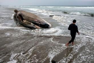 Zeci de balene moarte descoperite pe o plajă. Fenomenul care duce la uciderea acestora