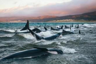 """200 de balene moarte într-o săptămână. """"Nu o să le uit niciodată plânsetele"""""""