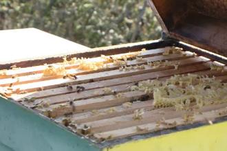 Albinele românești ar putea dispărea complet din cauza substanțelor folosite de agriculotri