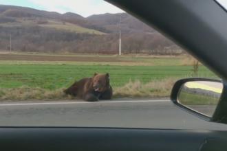 Prefectul judeţului Harghita va fi demis după cazul revoltător al ursului lovit de o mașină