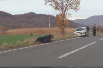 Ursul lovit de mașină în Harghita a fost eutanasiat, după ce a agonizat toată noaptea. Avea trei picioare fracturate