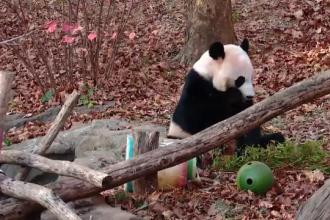 Motivul pentru care angajații unei grădini zoologice au trimis un urs panda înapoi în China