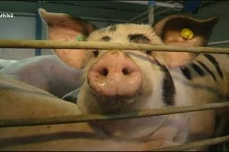 Porci din zone afectate de pestă, vânduți ilegal