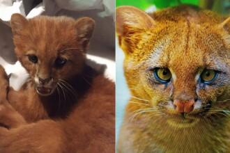 Ce era de fapt animalul pe care l-a adoptat o femeie, crezând că este un pui de pisică