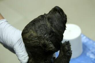 Animalul misterios conservat perfect de 18.000 de ani în gheața siberiană. Ce specie ar fi