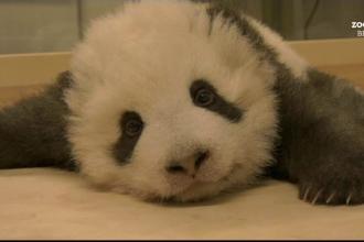 Un pui de panda din Berlin, vedetă internațională. De ce nu reușește să adoarmă