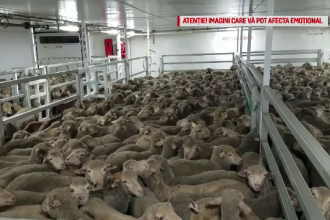 Reacție dură a CE după moartea celor 14.000 de oi.