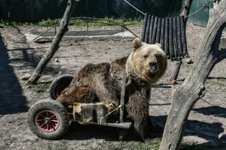 Povestea lui Usko, singurul urs din lume care a trăit în scaun cu rotile