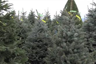 Primul Crăciun din pandemie. Cât vor costa brazii anul acesta