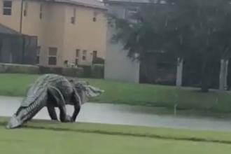 Un aligator gigantic a fost filmat pe o stradă din Florida