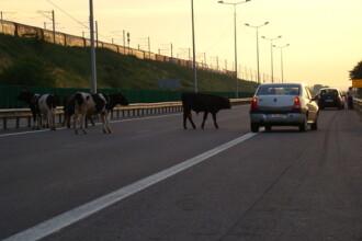 Surprize pe soselele din Romania! O soferita a lovit in plin o vaca pe DN1
