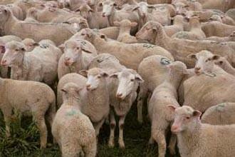 Oierii din judetul Arad sunt disperati. Lupii infometati le-au sfasiat zeci de oi in doar doua ore