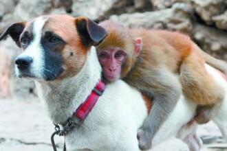 Un caine este bodyguard pentru o maimuta