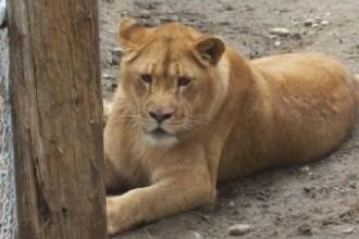Romania, te iubesc: Povestea trista a leului, regele animalelor