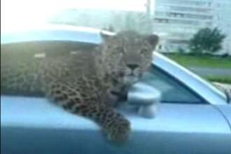 No comment! ...si inauntru leopardu'!