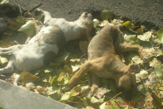 SOCANT! Zeci de caini, omorati pe strazile din Falticeni! Vezi galeria