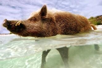 El este Babe, porcul care traieste pe propria insula privata, in Bahamas