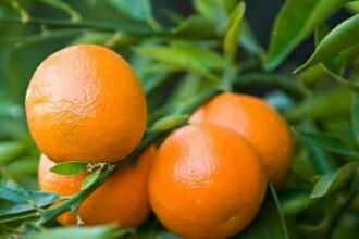 Boala citricelor sau pericolul care ar putea duce la disparitia unora dintre cele mai iubite fructe
