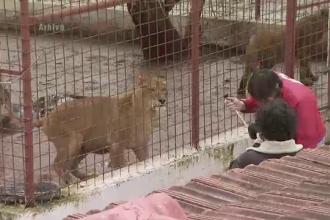 Leii lui Nutu Camataru au fost mutati de la gradina zoologica din Bucov catre cea din Galati