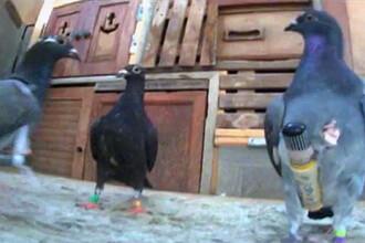 Un american dreseaza porumbei pentru a face contrabanda cu trabucuri din Cuba. VIDEO